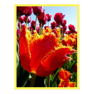 Tulip - Red Fringed Close-Up Postcard