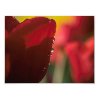 Tulip with Water drop Photo Print