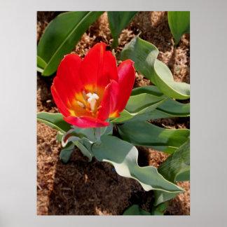 Tulipe de ressort poster