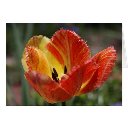 Tulipe jaune/rouge cartes de vœux