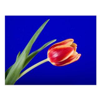 Tulipe sur l'arrière - plan bleu cartes postales