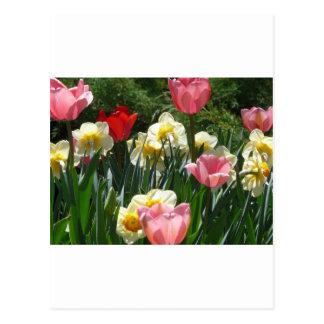 tulipe, tulipe rose et jonquille cartes postales