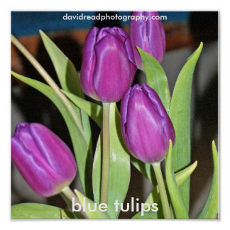 tulipes bleues, posters