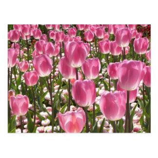 Tulipes de Canberra Cartes Postales