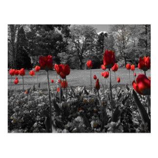 Tulipes de printemps rouge cartes postales