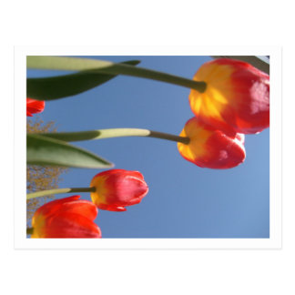 Tulipes de ressort carte postale