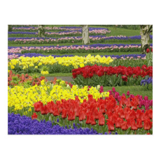 Tulipes, jacinthe de raisin, et jonquilles, 2 carte postale