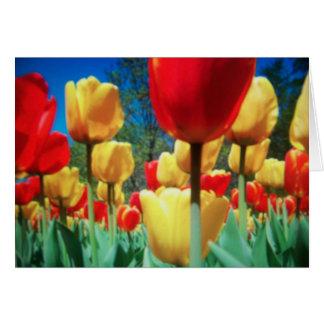 tulipes jaunes et rouges (carte d'anniversaire) carte de vœux