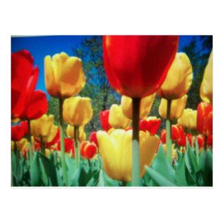 tulipes jaunes et rouges cartes postales