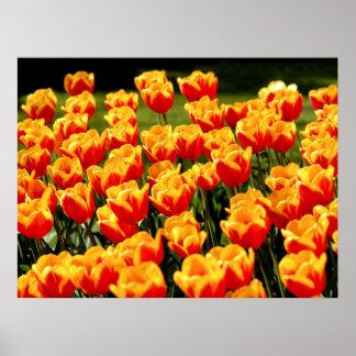 Tulipes jaunes et rouges dans le printemps poster