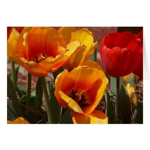 Tulipes rouges et jaunes cartes