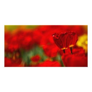 Tulipes rouges et jaunes modèle pour photocarte