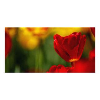 Tulipes rouges et jaunes photocarte