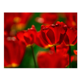 Tulipes rouges et jaunes carte postale