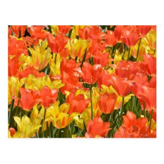 Tulipes rouges et jaunes cartes postales