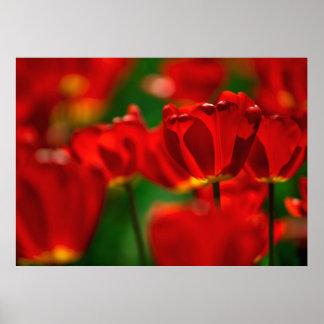 Tulipes rouges et jaunes poster