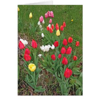 Tulipes rouges, roses, blanches, et jaunes - carte de vœux