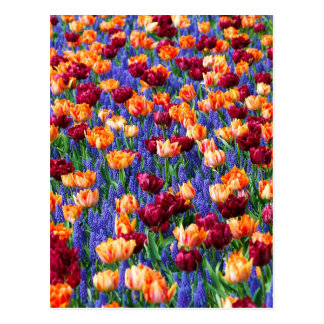 Tulips And Grape Hyacinths Postcard