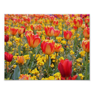 Tulips, Bright and colorful yellow and red Poster