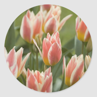 Tulips Classic Round Sticker