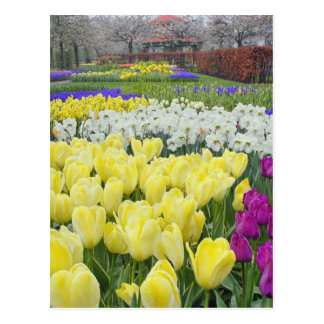 Tulips, daffodils, and Grape Hyacinth flowers, Postcard
