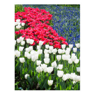 Tulips field in red and white with blue hyacinths postcard