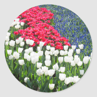 Tulips field in red and white with blue hyacinths round sticker
