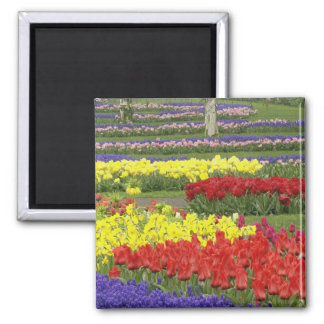 Tulips, Grape Hyacinth, and Daffodils, 2 Square Magnet