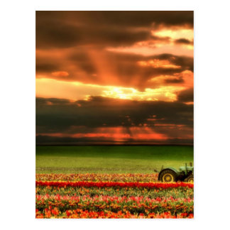 Tulips In The Sunset Postcard