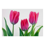 Tulips over white poster