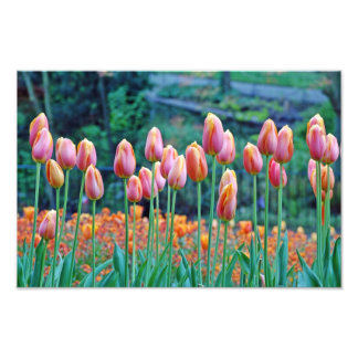 Tulips Photo Art