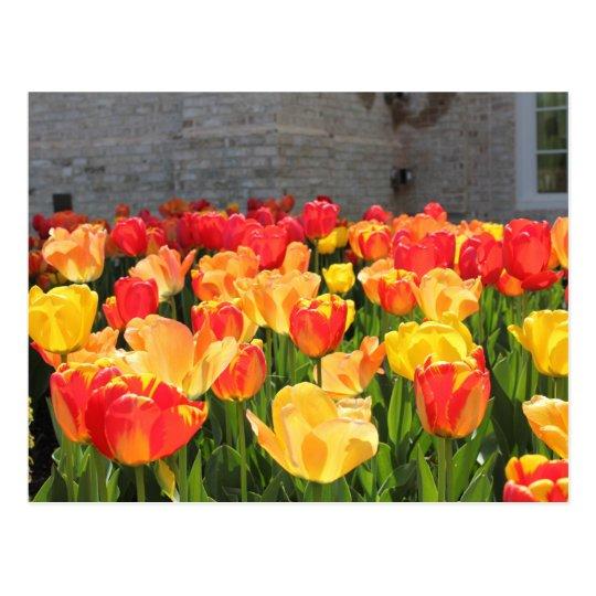 Tulips Postcards