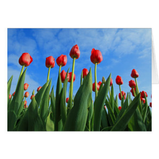 Tulips red flowers photo blank greetings card