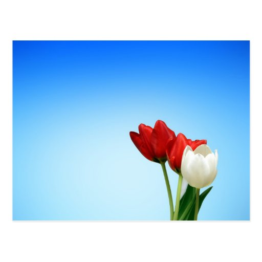 Tulips Red White Spring Aesthetics Aesthetic Post Cards