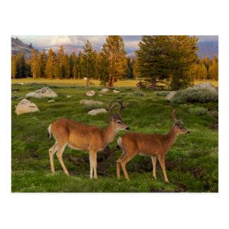 Tuolumne Meadow, Yosemite Postcard