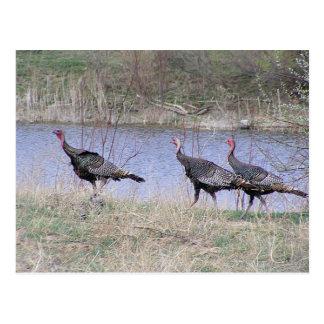 Turkey Trio By Water Postcard
