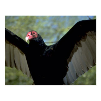 Turkey vulture spreading large wings postcard