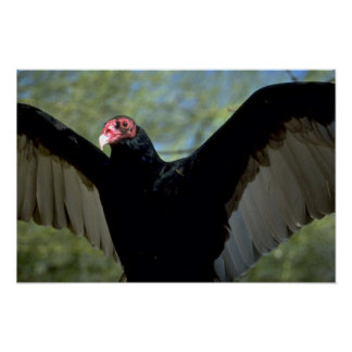 Turkey vulture spreading large wings poster