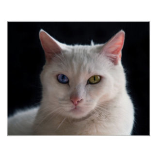 Turkish Angora Cat with Odd Eyes Poster