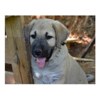 Turkish Shepherd Kangal Puppy Postcard