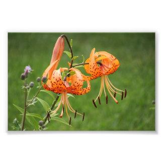 Turk's Cap Lily Photo Print