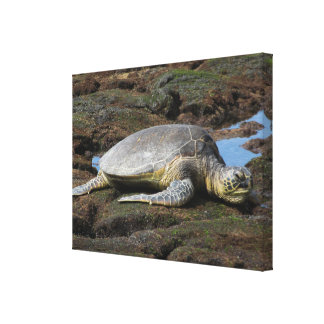 Turtle Resting On The Rocks Canvas Print