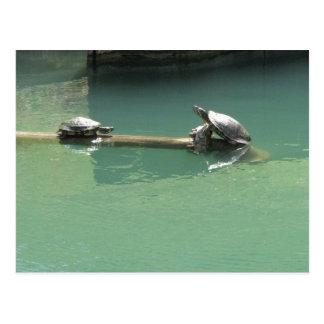 Turtles Postcard