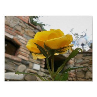 Tuscan yellow rose. poster