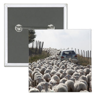 tuscany farmland road, car blocked by herd of 2 inch square button