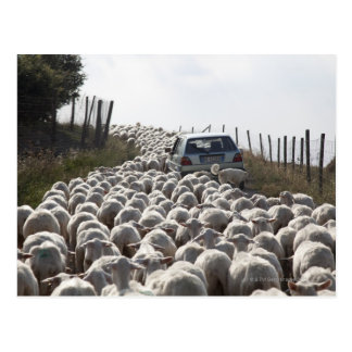 tuscany farmland road, car blocked by herd of postcard