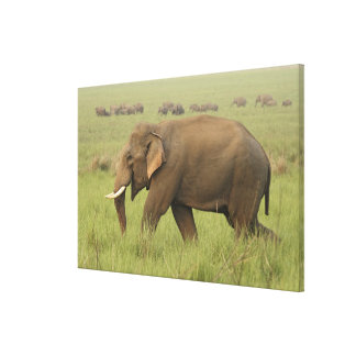 Tusker and its herd,Corbett National Park, Canvas Print