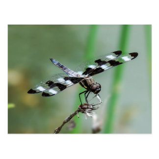 Twelve Spotted Skimmer Dragonfly Postcard