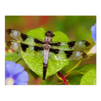 Twelve-spotted Skimmer Postcard