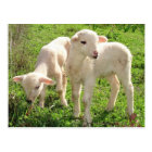 Twin Lambs Grazing Postcard